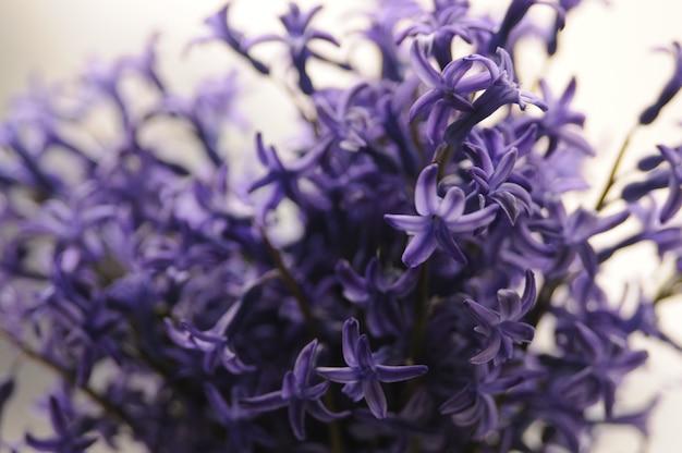Jacinto de jardín holandés común (hyacinthus orientalis) close up. flores macrois del orientalis de hyacinthus, bulbos del jacinto del jardín, fondo del bokeh. hyacinthus flor en blanco