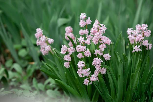 Jacinto rosado en el jardín de primavera