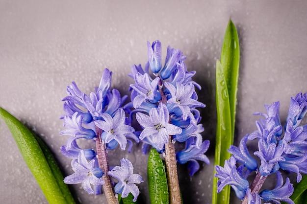 Jacintos azul violeta con gotas de agua