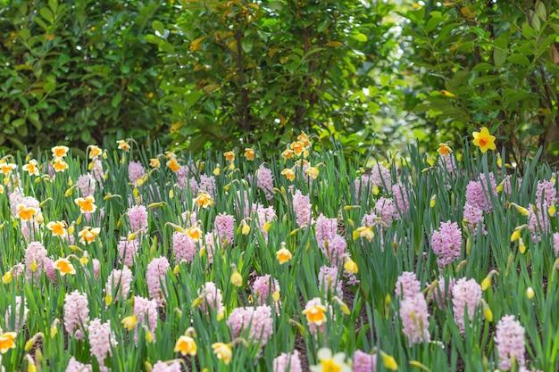 Jacintos rosados y narcisos amarillos en un parque.