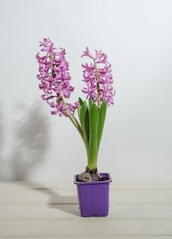 Jacintos rosados sobre una superficie de madera blanca en una taza púrpura, forzando flores de primavera