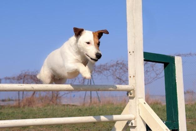 Jack russel terrier en agilidad
