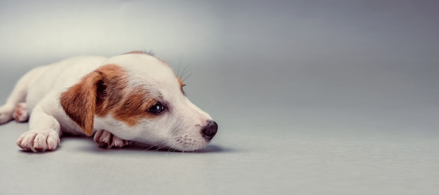 Jack russell terrier cachorro acostado