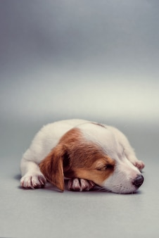 Jack russell terrier cachorro durmiendo