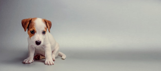 Jack russell terrier cachorro sentado