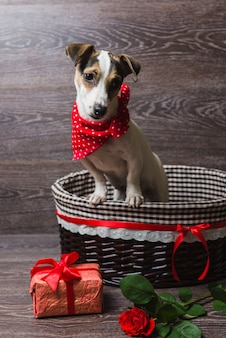 Jack russell terrier en canasta marrón