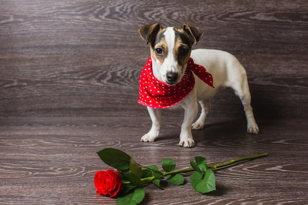 Jack russell terrier con rosa roja.