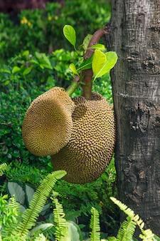 El jackfruit que está con el tronco es una deliciosa fruta amarilla.