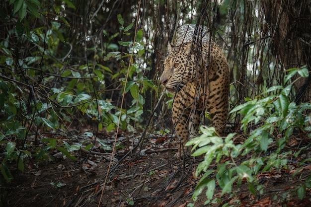 Jaguar americano en el hábitat natural de la jungla sudamericana