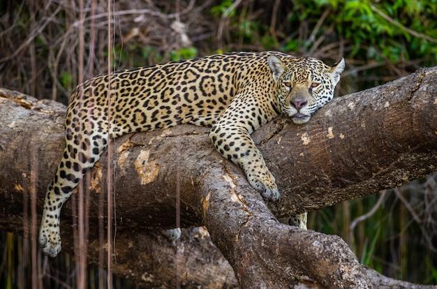 Jaguar se encuentra en un pintoresco árbol en medio de la jungla