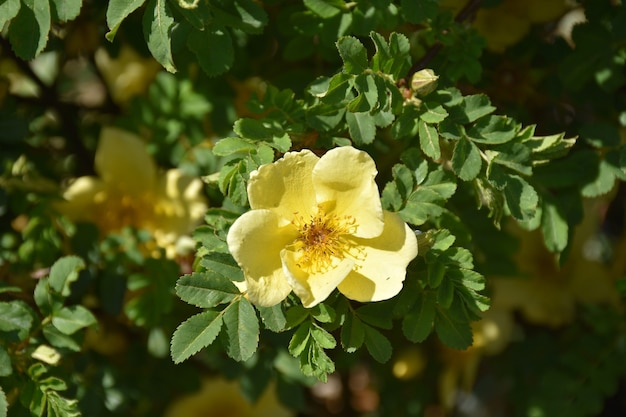 Jardín con un bonito rosal amarillo en flor.