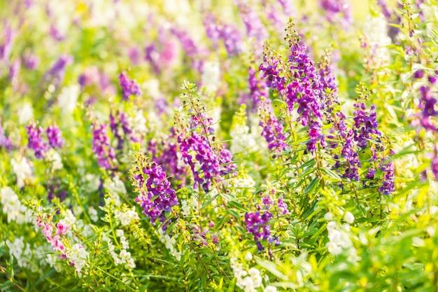 Jardín de flores de lavanda