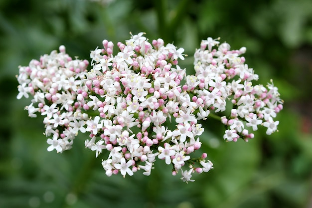 Jardín de flores de valeriana