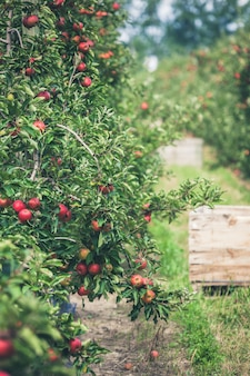 Jardín lleno de manzanas rojas maduras