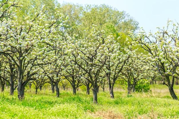 Jardín de manzana con árboles en flor.