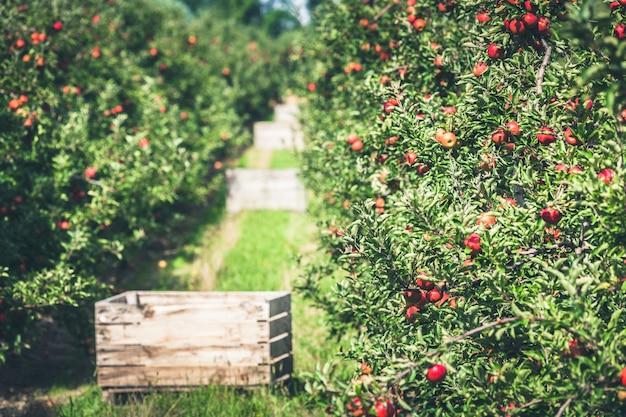 Jardín de manzana lleno de frutos rojos madurados.