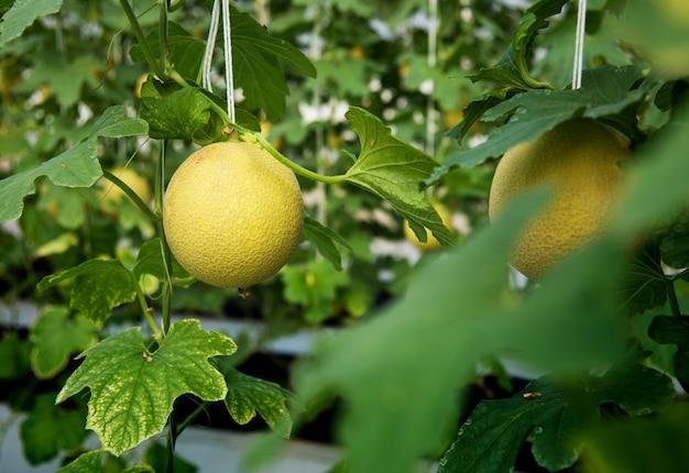 Jardín de la naturaleza orgánico de la cosecha de la ligamaza