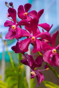 Jardín de orquídeas de borneo de malasia