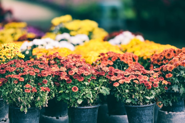 Jardín de otoño crisantemo blossomin en maceta - coloridas flores de crisantemo