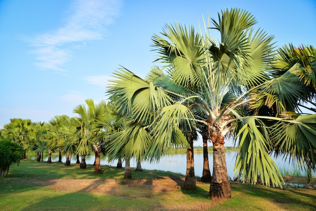 Jardín de palmeras en fila a orillas del río.