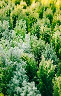 Jardín de plantación de tuya verde de coníferas.