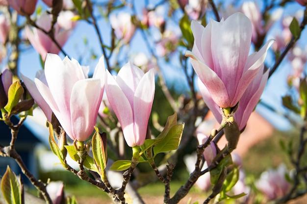 Jardín de primavera: hermosas flores de magnolia rosa en la luz del sol