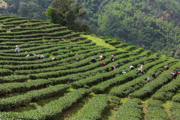 Jardín de té en capas a lo largo del borde del valle