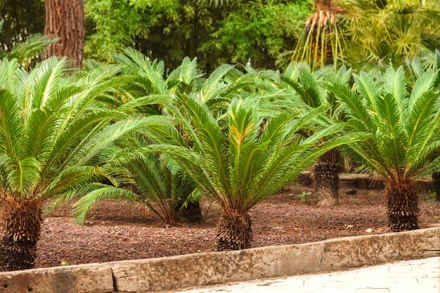 Jardín tropical con sago de palmera japonesa. cycas revoluta