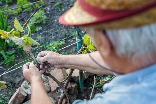 Jardinero canoso cuida la rama de uva en primavera