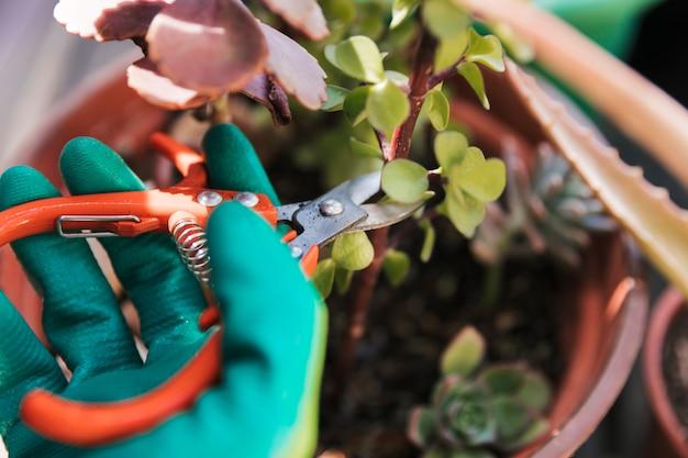 Jardinero está cortando la ramita de la planta con tijeras de podar.