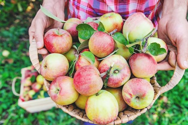 El jardinero del hombre recoge manzanas en el jardín en el jardín.