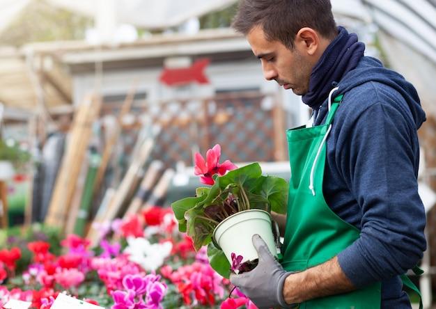 Jardinero en un invernadero trasplante cyclamens para la venta.