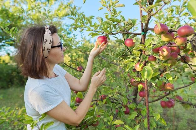 Jardinero de mujer recogiendo cultivos de manzanas rojas del árbol en el jardín. pasatiempos, jardinería, cultivo de manzanas orgánicas, alimentos naturales saludables.
