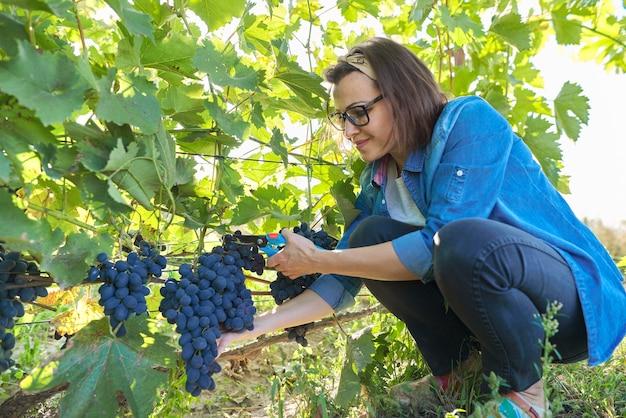 Jardinero de mujer con tijeras de podar de jardín cosechando uvas azules en arbusto de uva. jardín, viñedo, hobby, cultivo de uvas orgánicas sin uso de productos químicos.