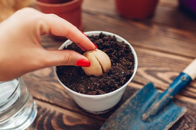 Jardinero mujer trasplantar semillas de aguacate con raíz que crece en una maceta con tierra.
