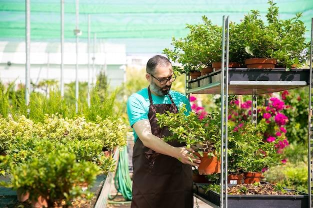 Jardinero pensativo barbudo sosteniendo maceta con planta y colocándola en bandeja. trabajador de invernadero profesional que trabaja con diferentes flores durante el día soleado. jardinería comercial y concepto de verano.