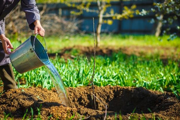 Jardinero que riega de los cubos frutales jóvenes en la primavera garde.