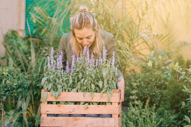 Jardinero de sexo femenino que huele las plantas de la lavanda en la caja en el vivero de la planta