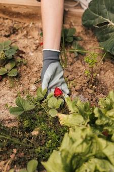 Un jardinero de sexo femenino que muestra la fresa en la mano