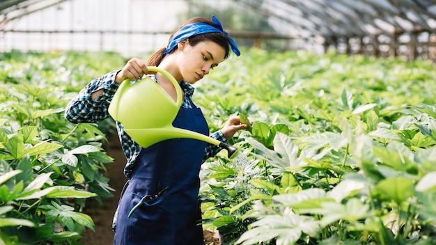 Jardinero de sexo femenino que vierte el agua en las plantas en invernadero