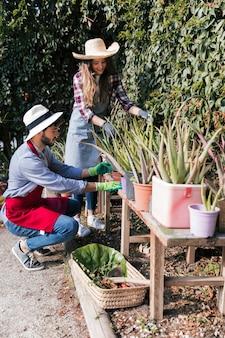 Jardinero de sexo femenino y de sexo masculino que cuida de las plantas de aloevera en la tabla en el jardín