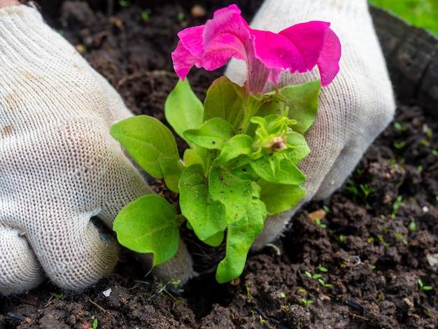 El jardinero sostiene una flor brillante en sus manos y la planta en el suelo preparado. guantes en las manos, vista lateral. agricultura