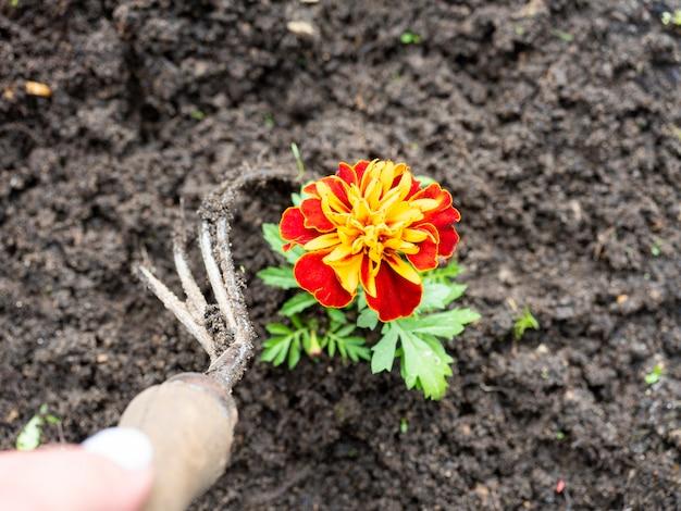 El jardinero usa una zapatilla para quitar las malas hierbas alrededor de las flores. jardinería, aficiones. vista superior, endecha plana