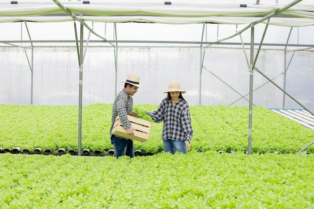 Los jardineros masculinos y femeninos están recolectando vegetales orgánicos cosechados de la granja de hortalizas hydroponics.