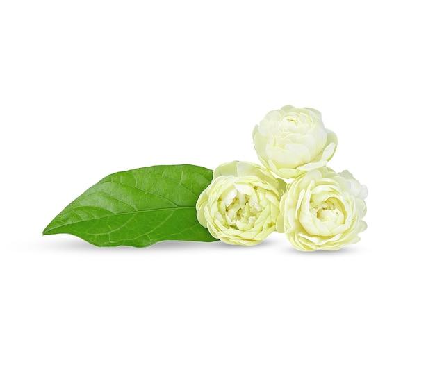 Jazmín árabe, flor fragante sobre fondo blanco.