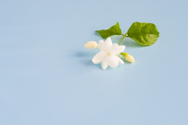 El jazmín blanco florece con las hojas verdes en fondo azul hermoso con el espacio de la copia