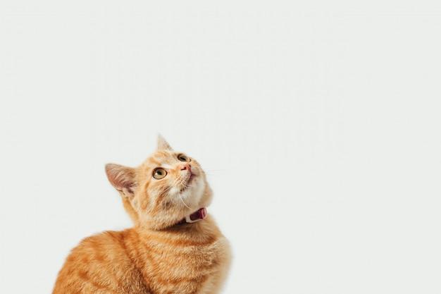 Jengibre atigrado gatito sobre fondo blanco.