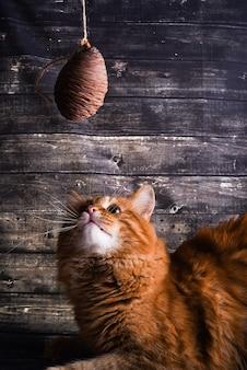 Jengibre gato juega con un cono de cedro