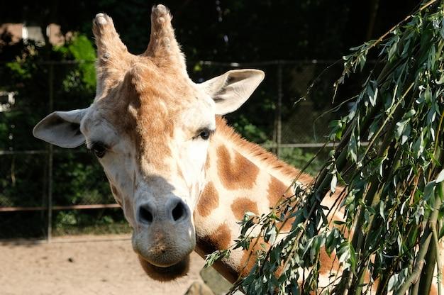 Jirafa africana giraffa camelopardalis en sudáfrica