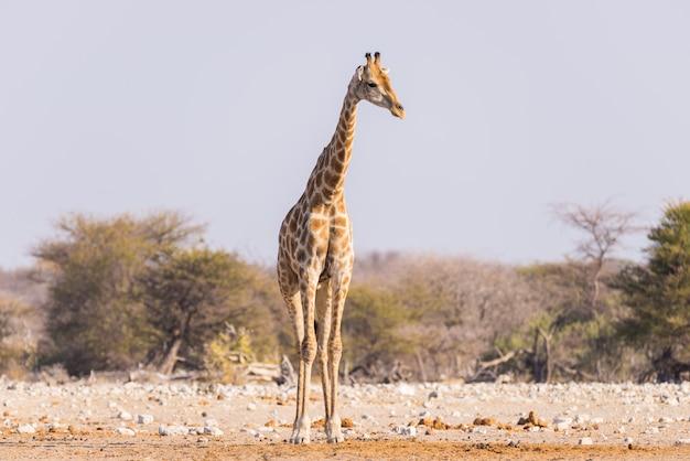 Jirafa caminando en el monte en la sartén del desierto.